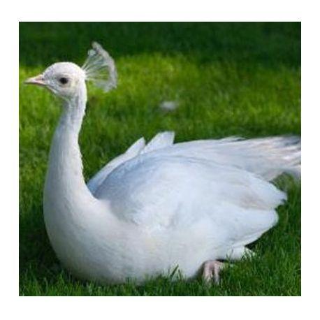 Pavo real blanco hembra