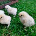 Pollito/a de hasta 2 semanas Sedosa del Japon SIN SEXAR