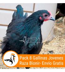 Oferta 8 Gallinas Jovenes Binoir 16 Semanas + Portes Incluidos