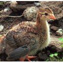 Guinea de hasta 6 semanas. SIN SEXAR