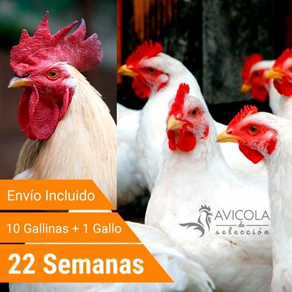 Oferta 11 Leghor + Gallo + Portes Incluidos